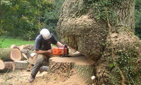 Dismantling & Felling of Large Oak