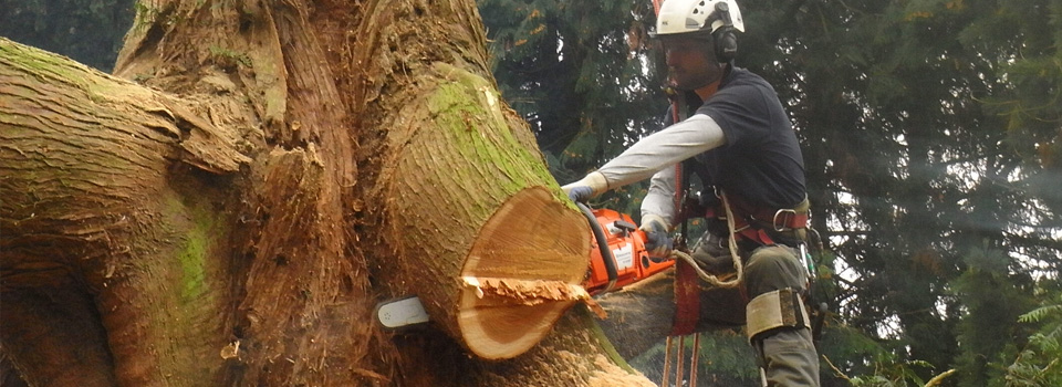 Western Red Cedar Dismantling, Felling & Removal