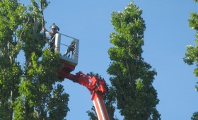 Poplar Height Reduction