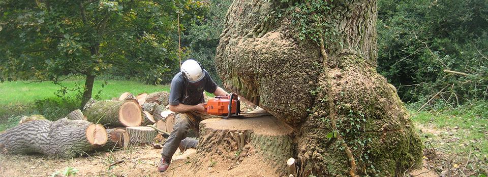 Dismantling & Felling of Large Oak